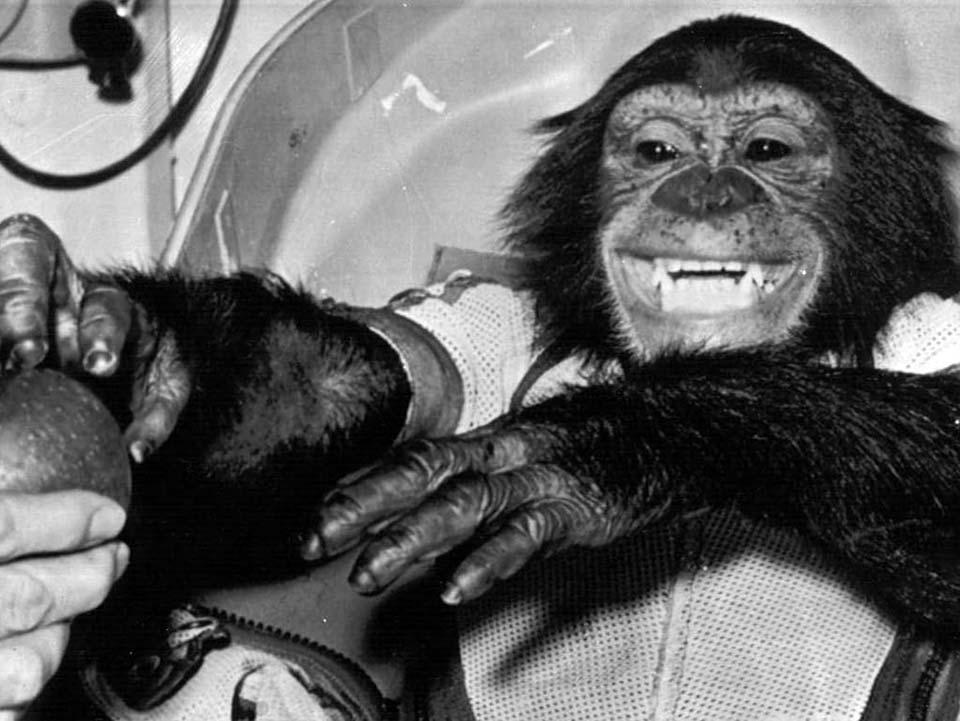 Ham chimpanzee