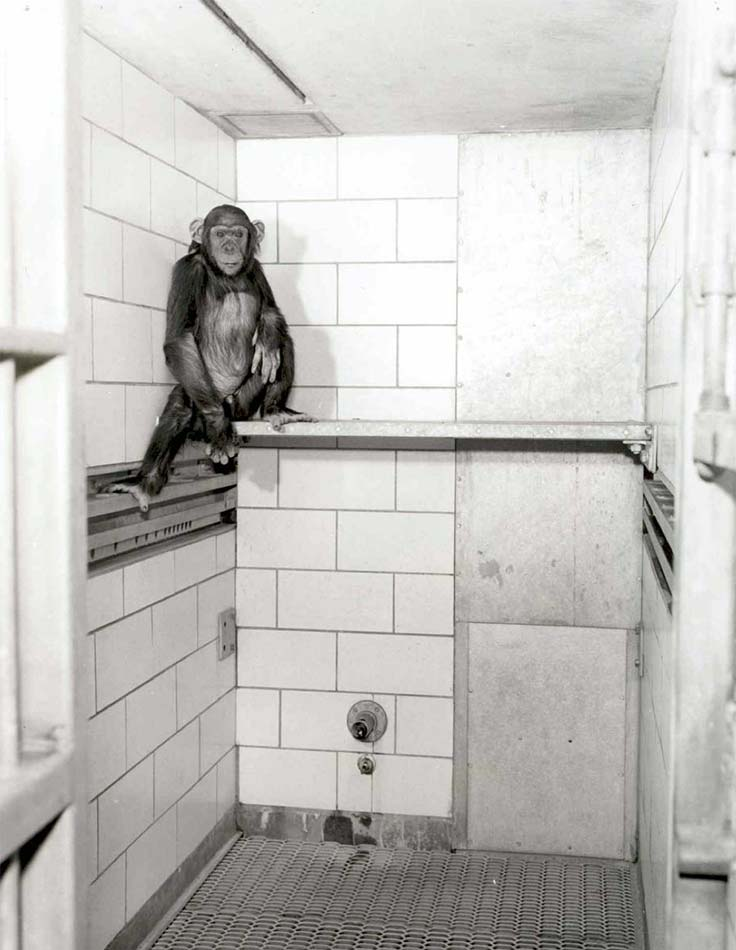 Chimpanzee in barren enclosure