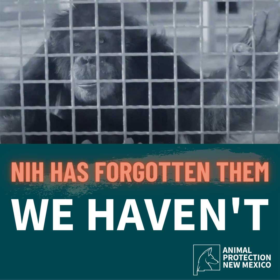 Chimps - NIH has forgotten them. We Haven't